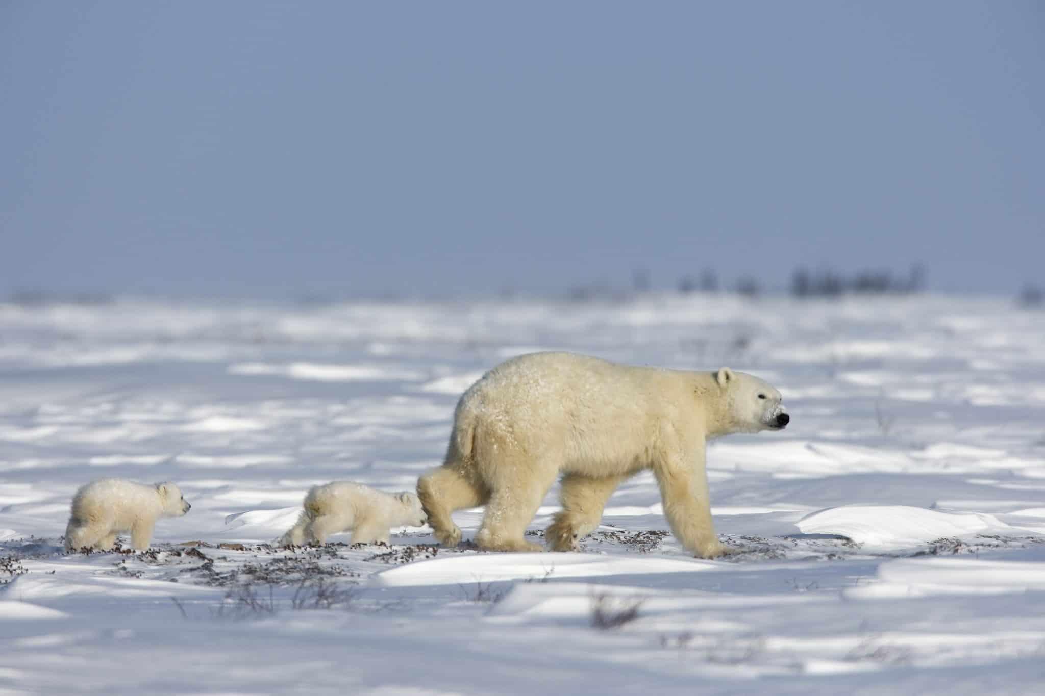 Arctic Snow Bears