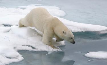 Snow Bears Arctic